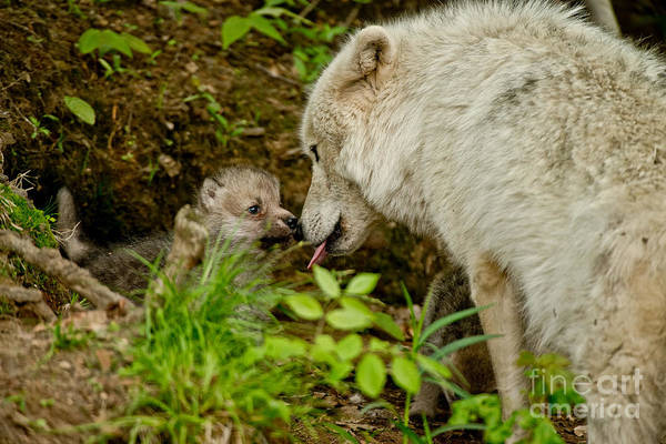 Photograph - Arctic Wolf Pictures 342 by Wolves Only