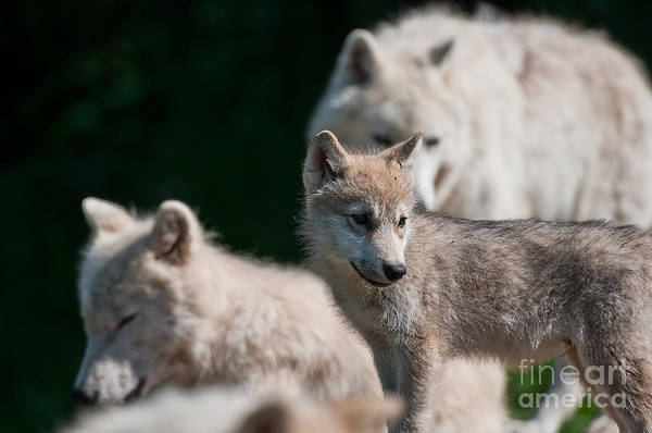 Photograph - Arctic Wolf Pictures 343 by Wolves Only