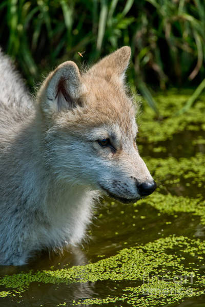 Photograph - Arctic Wolf Pictures 349 by Wolves Only
