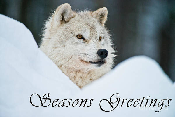 Photograph - Arctic Wolf Season Greetings Card 14 by Wolves Only