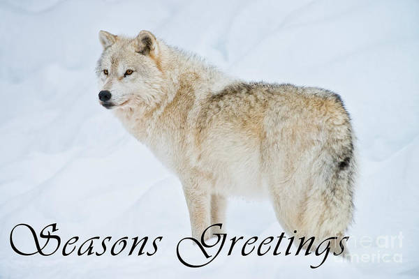 Photograph - Arctic Wolf Season Greetings Card 9 by Wolves Only