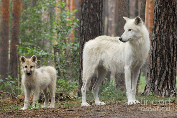 Arctic Wolves Photograph - Arctic Wolf With Pup, Canis Lupus Albus by Stefan Meyers