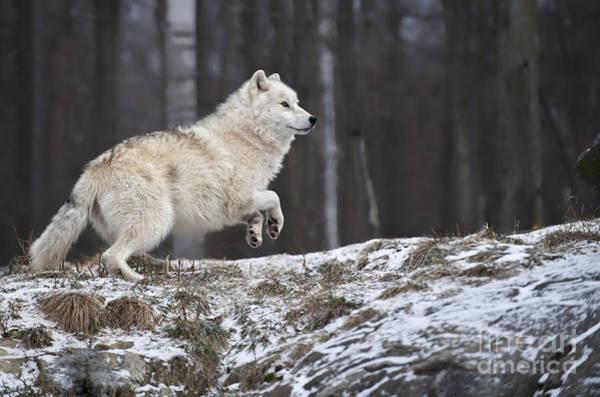 Arctic Wolf Art Print