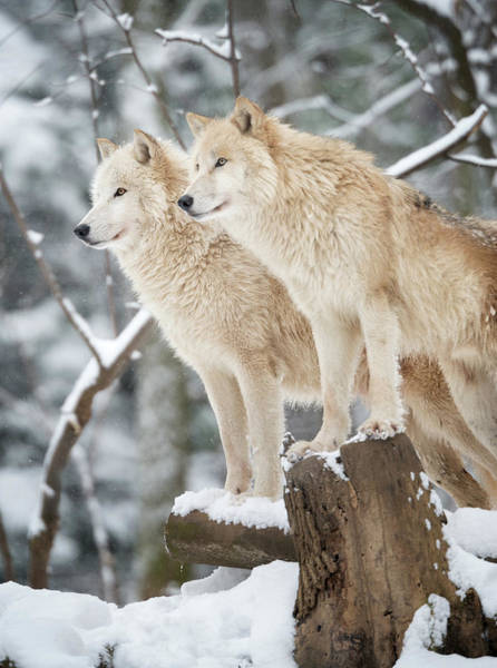 White Wolf Photograph - Arctic Wolves Pack In Wildlife, Winter by 4fr