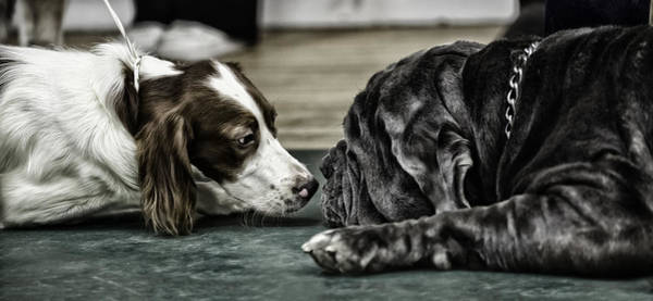 Spaniel Photograph - Are We Related by Nigel Jones