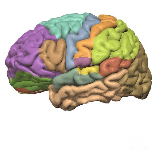 Motor Cortex Photograph - Areas Of The Cerebrum by Medical Images, Universal Images Group