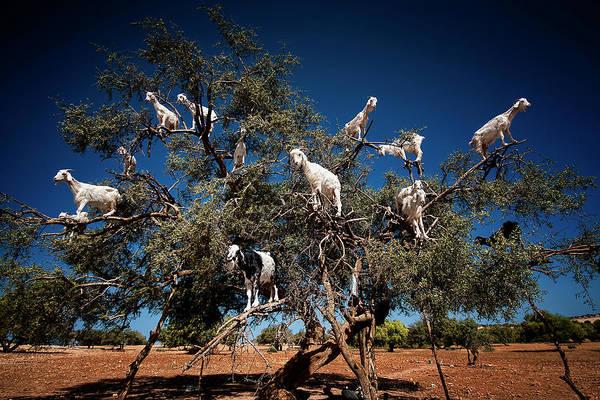 Traditional Photograph - Argan Goats by Burak Senbak