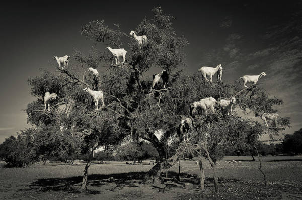 Wall Art - Photograph - Argan Loving Goats by Dario Puebla
