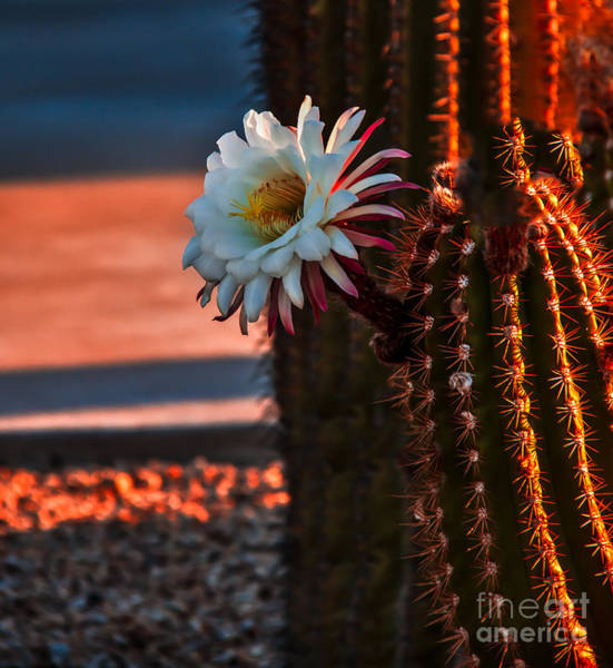 Haybale Wall Art - Photograph - Argentine Cactus by Robert Bales