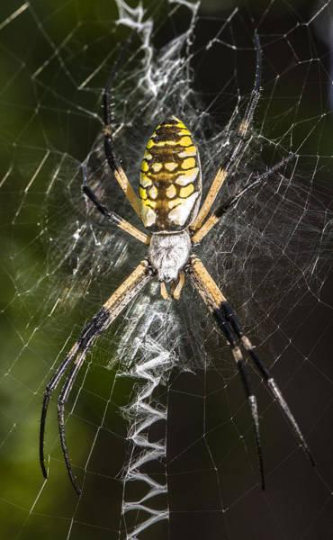 Photograph - Argiope Aurantia Spider by Steven Schwartzman