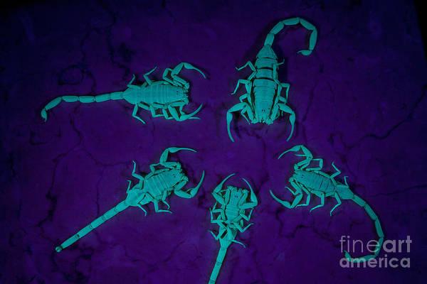 Blacklight Photograph - Arizona Bark Scorpions by Kenneth M Highfill