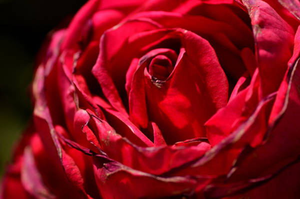 Wall Art - Photograph - Arizona Rose I by Michael McGowan