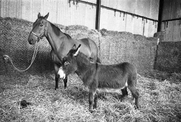 Maynooth Photograph - Arkle And Friend In Maynooth by Irish Photo Archive