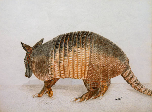 Nocturnal Drawing - Armadillo by Zina Stromberg