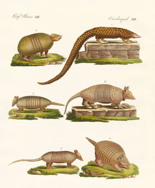 Nine-banded Armadillo Drawing - Armoured Animals by Splendid Art Prints
