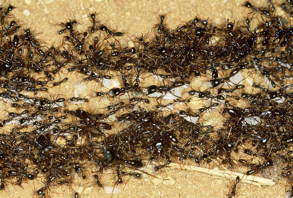 Ghana Wall Art - Photograph - Army Ants by Sinclair Stammers/science Photo Library