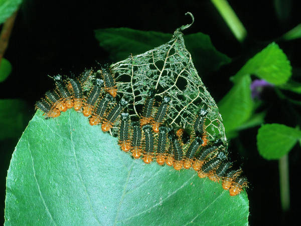 Larva Wall Art - Photograph - Army Of Leaf Beetle Lava by Dr Morley Read/science Photo Library