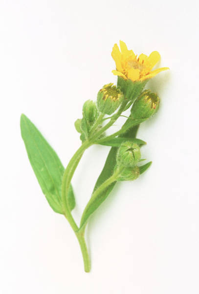 Medicinal Photograph - Arnica Flower by Th Foto-werbung/science Photo Library