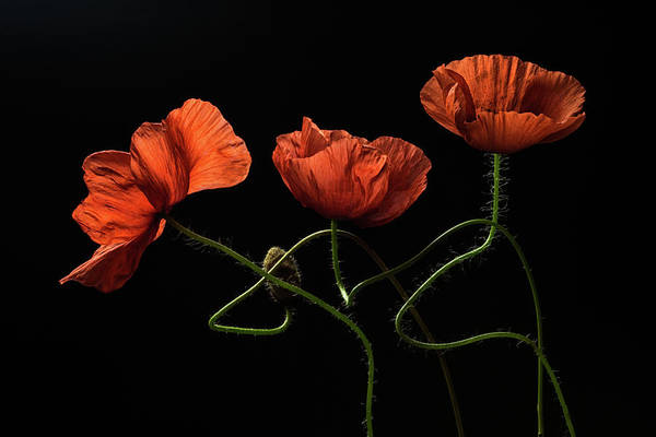 Red Poppies Wall Art - Photograph - Around Midnight #2 by Lenka