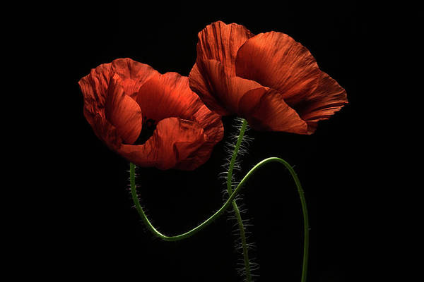 Red Poppies Wall Art - Photograph - Around Midnight by Lenka