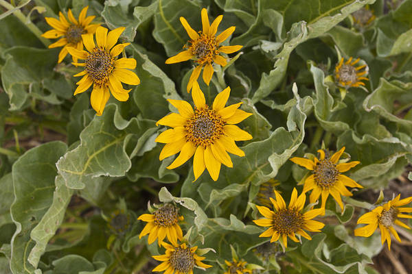 Photograph - Arrow-leaved Balsamroot by Jack R Perry