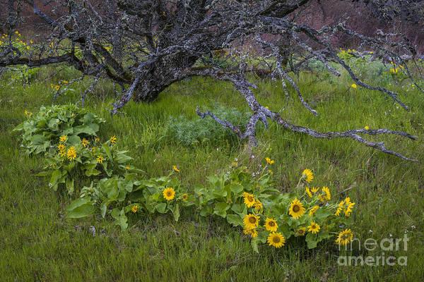 Balsamorhiza Sagittata Photograph - Arrowleaf Balsam Root by John Shaw