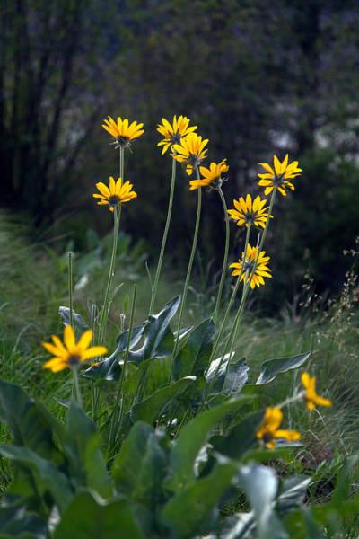 Balsamorhiza Sagittata Photograph - Arrowleaf Balsamroot Flowers by Michael Russell