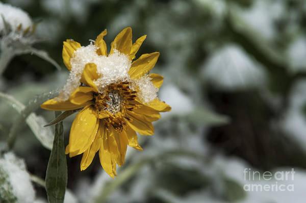 Balsamorhiza Sagittata Photograph - Arrowleaf Balsamroot In Snow by Wildlife Fine Art