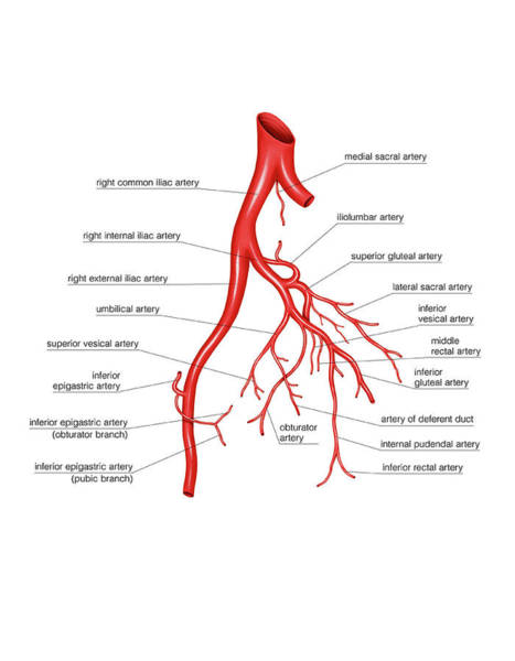 Anatomical Wall Art - Photograph - Arterial System Of The Abdomen by Asklepios Medical Atlas
