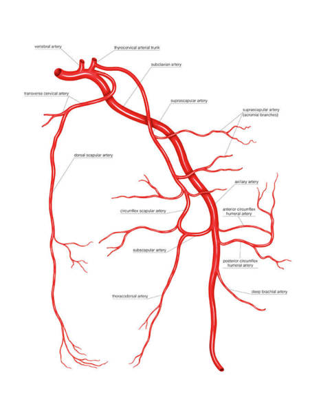 Vertebral Artery Photograph - Arterial System Of The Scapular by Asklepios Medical Atlas