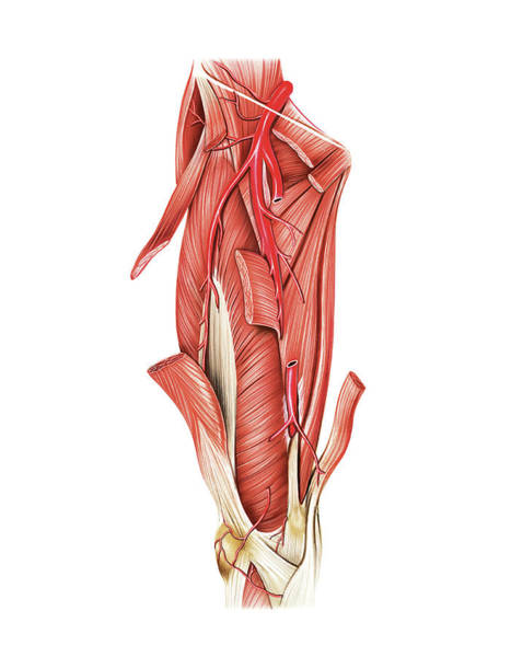 Atlas Of Human Anatomy Wall Art - Photograph - Arterial System Of The Thigh by Asklepios Medical Atlas