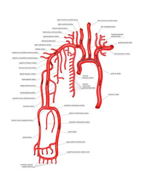 Vertebral Artery Photograph - Arterial System Of The Upper Body by Asklepios Medical Atlas