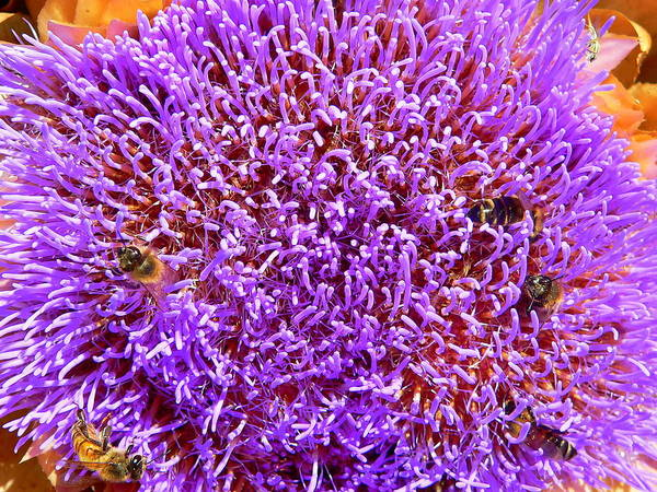Photograph - Artichoke Blossom by Jeff Lowe