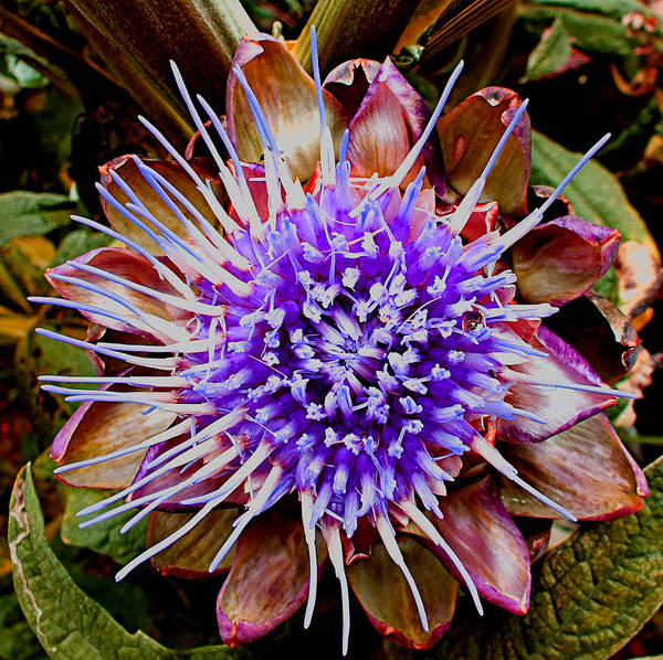 Photograph - Artichoke Flower by Jill Bartlett