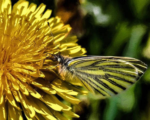 Photograph - Artistic Imp Green-veined White Butterfly Collecting Nectar From A Flowering Yellow Dandelion. by Leif Sohlman