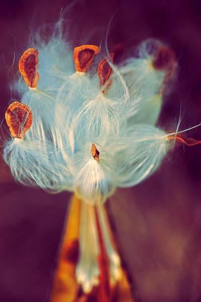Photograph - Artistic Milkweed by Beth Akerman