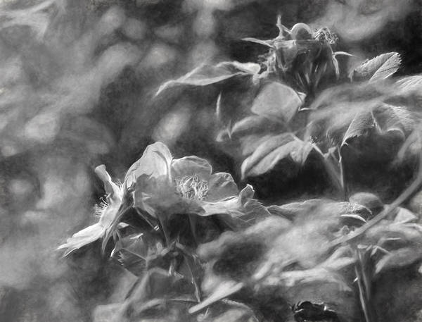 Ose Photograph - artistic painterly Black and white monochromatic two dogroses summer 2014 by Leif Sohlman
