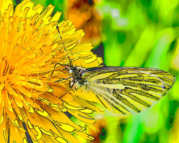 Photograph - Artistic Si Green-veined White Butterfly Collecting Nectar From A Flowering Yellow Dandelion. by Leif Sohlman