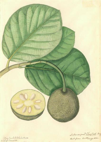 Dicot Wall Art - Photograph - Artocarpus Chaplasha by Natural History Museum, London