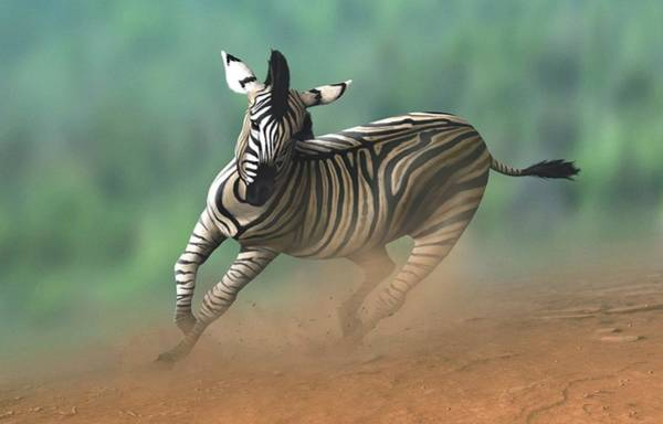 Behaviour Photograph - Artwork Of A Zebra Galloping by Mark Garlick/science Photo Library