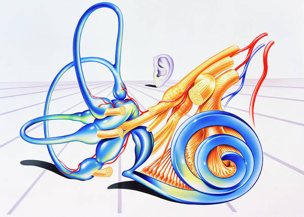 Wall Art - Photograph - Artwork Of Inner Ear by John Bavosi
