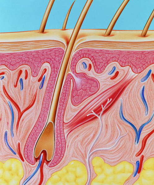 Wall Art - Photograph - Artwork Of Section Through Human Skin by John Bavosi
