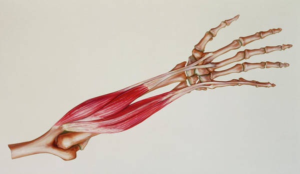Voluntary Muscle Photograph - Artwork Of The Dorsal Muscles Of The Lower Arm by Bo Veisland, Mi&i/science Photo Library