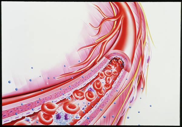 Wall Art - Photograph - Artwork Showing A Cut-away Of A Human Arteriole by John Bavosi