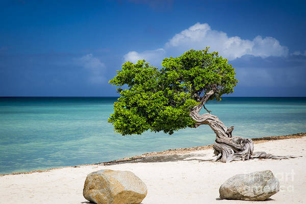 Photograph - Aruba Tree by Brian Jannsen