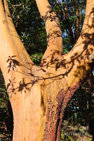 Photograph - Arbutus - Shadows From Above by Sharron Cuthbertson