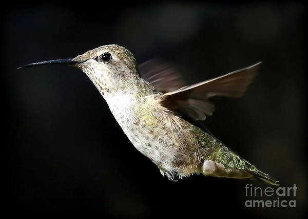 Photograph - As Free As A Hummingbird by Carol Groenen