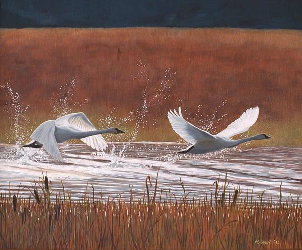 Trumpeter Swan Painting - Ascending Trumpeter Swans by Hugh Arndt