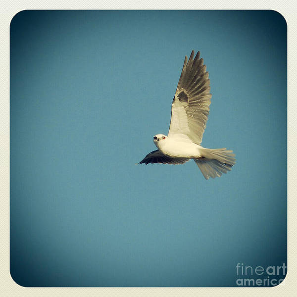 White-tailed Kite Photograph - Ascension by Paul Topp