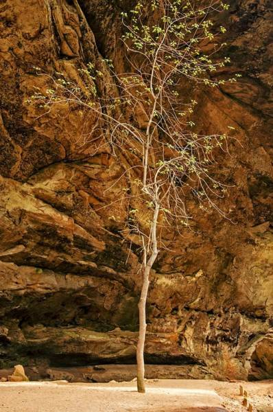 Wall Art - Photograph - Ash Cave Tree by Ginger Harris